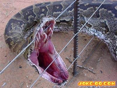 (牛人牛贴)世界上最大的蛇——水蚺
