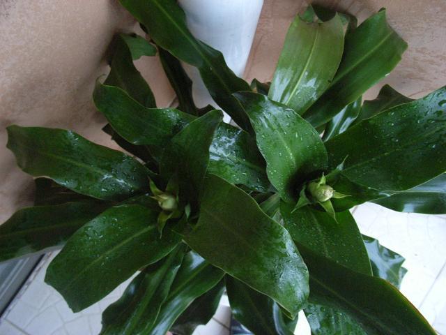 看过巴西铁树开花么? 看图吧.