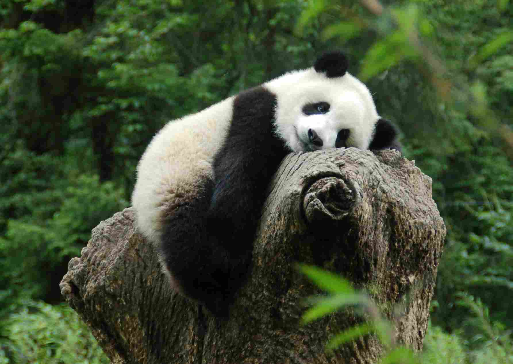 壁纸 大熊猫 动物 1785_1269