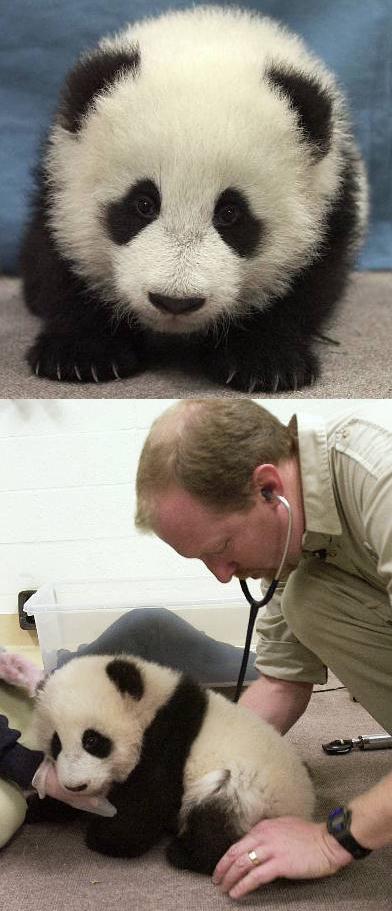 可爱的熊猫宝宝 - 家在深圳(深圳房地产信息网论坛)