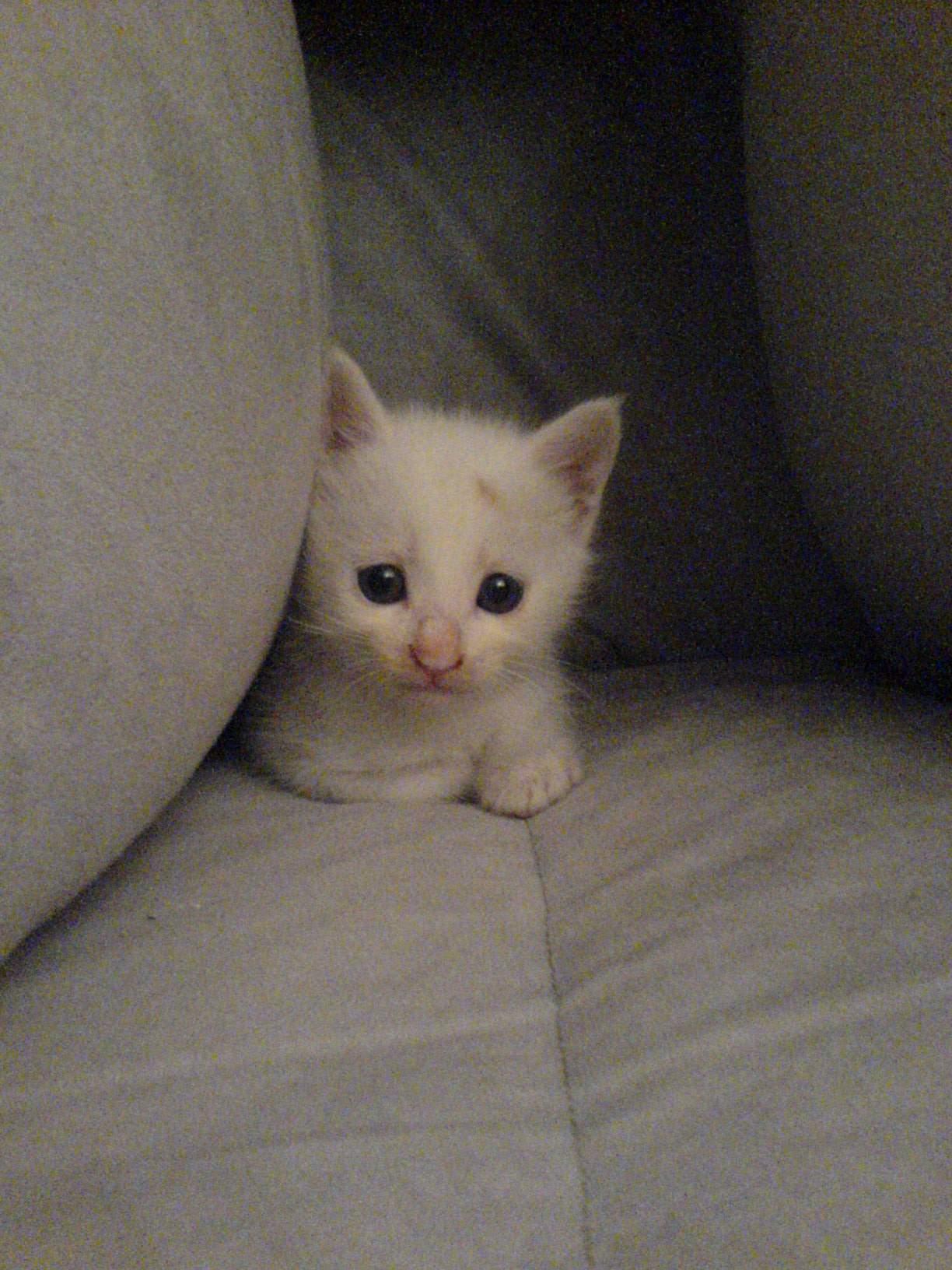 *小小白猫,非常可爱,我很喜欢,但是由于工作关系照顾不了她!