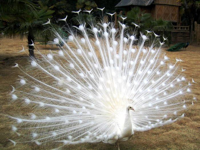 有人说看到白色的孔雀开屏,可以带来好运.愿看到的人年年好运!