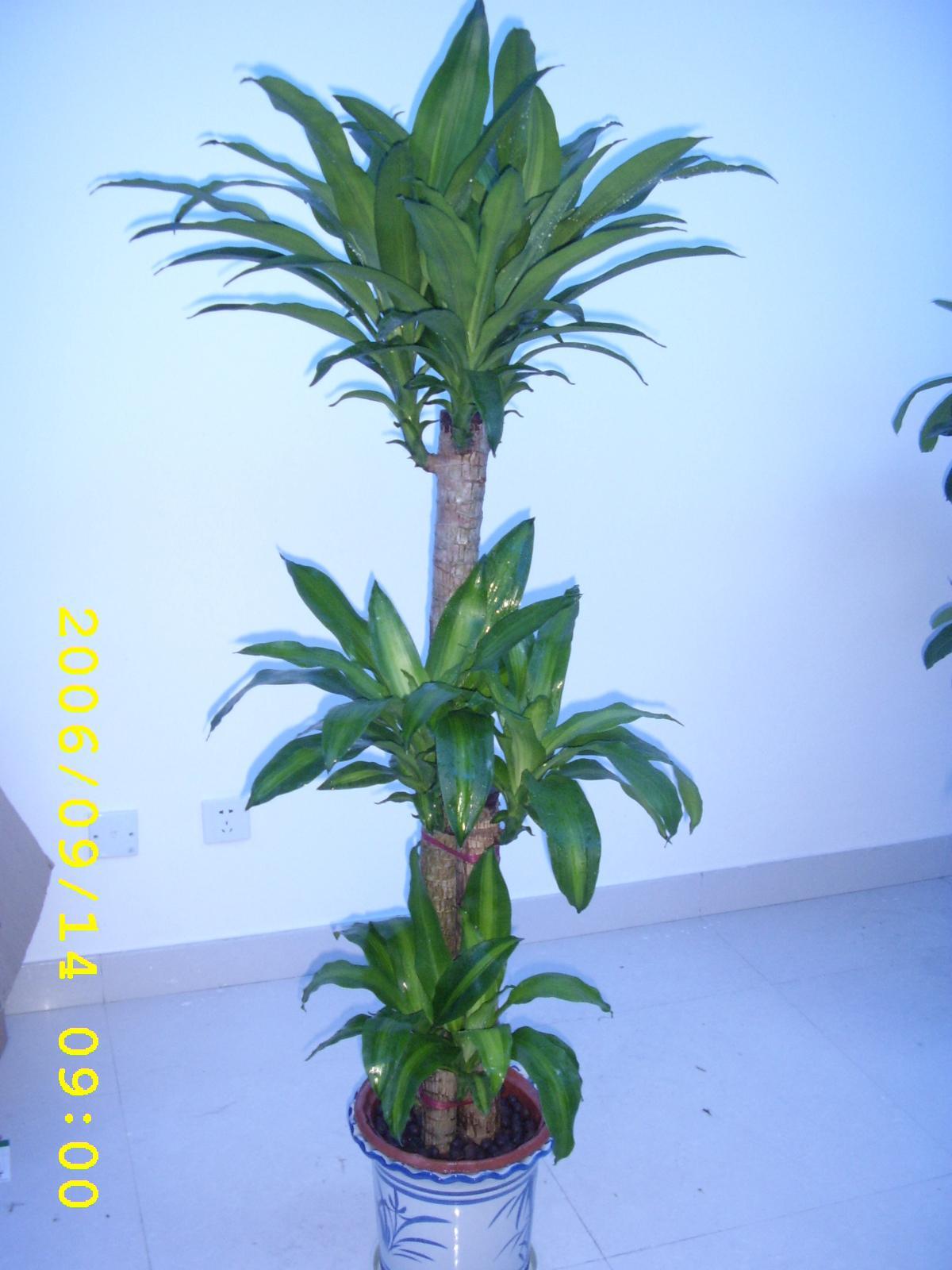 别名巴西铁树