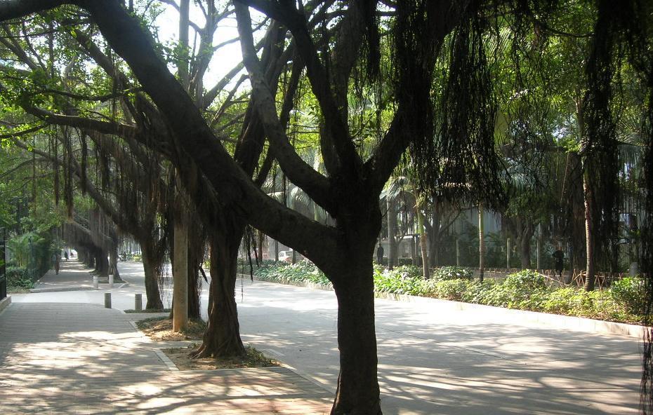 深圳也有美丽的榕树路