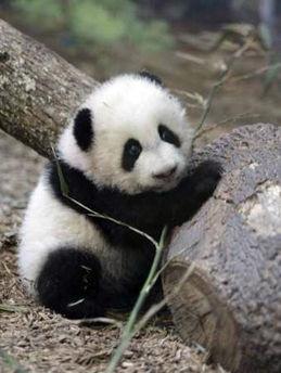 > 超可爱的小熊猫~!