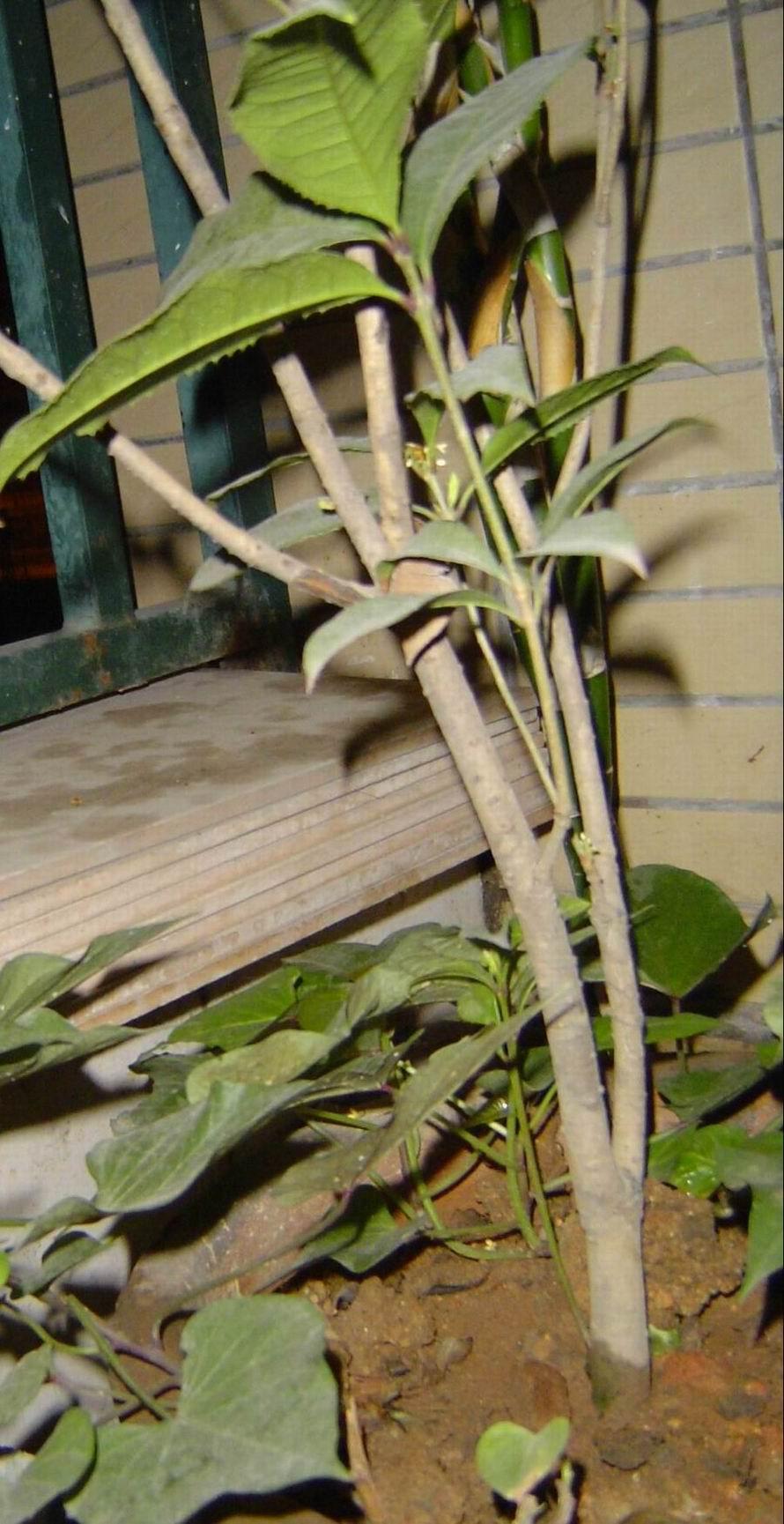 秀秀我家阳台上的东西,桂花,夜来香,金银花,薄荷,芦荟
