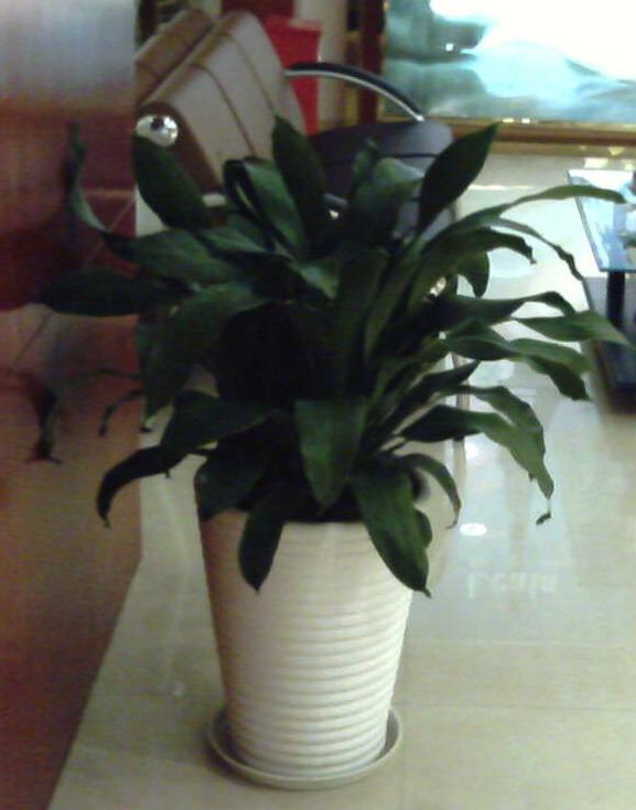 > 转~~适合公司摆放的大盆植物,发财树,绿萝,也门铁等.