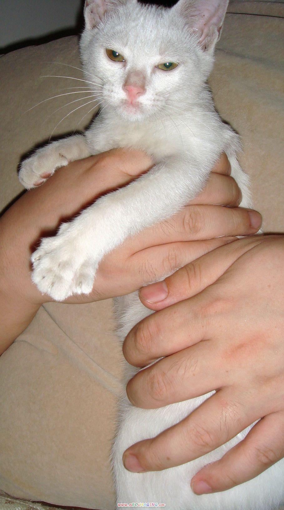 就是这只可爱的小白猫,我们叫她: 妞妞