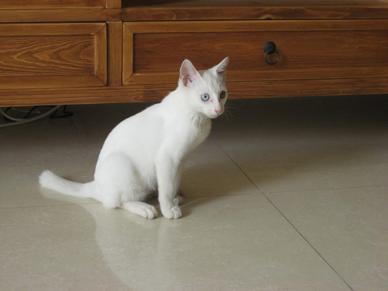 给可爱的小白猫找个新家
