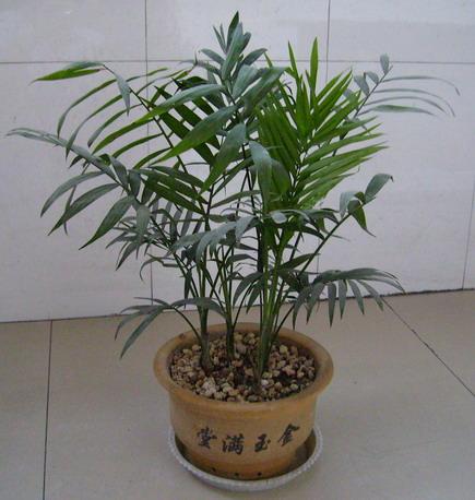 由于袖珍椰子的株型酷似热带椰子树