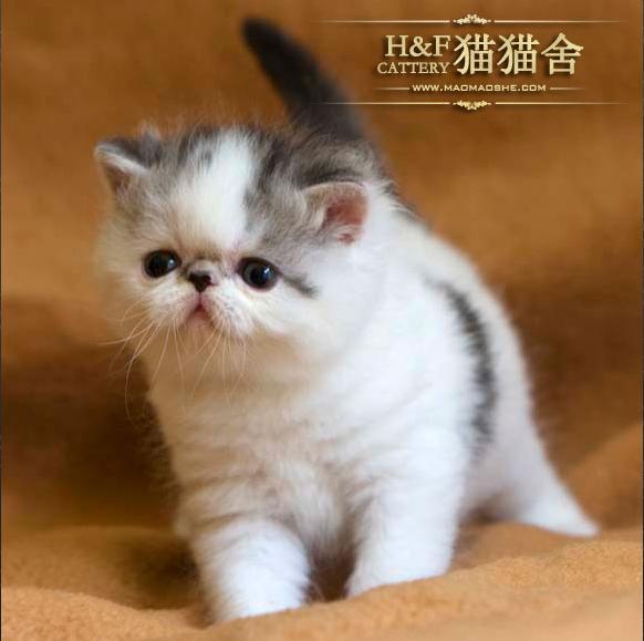 超可爱加菲小猫
