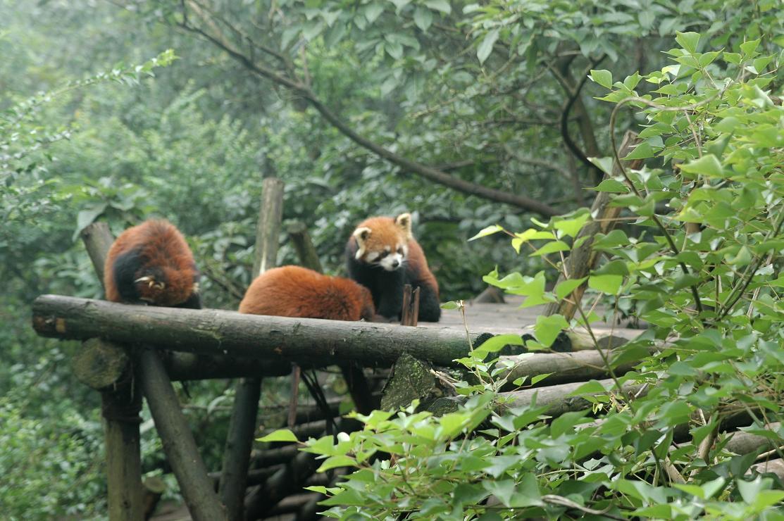 三只可爱的小熊猫